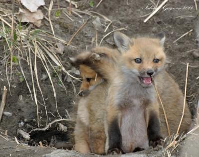 Wildtierschutz Deutschland kritisiert geplantes Fuchsmassaker in Euskirchen
