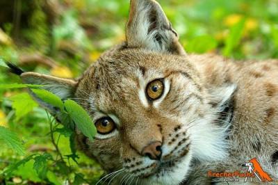 Luchs im Harz: Jäger sehen ihre Beute gefährdet