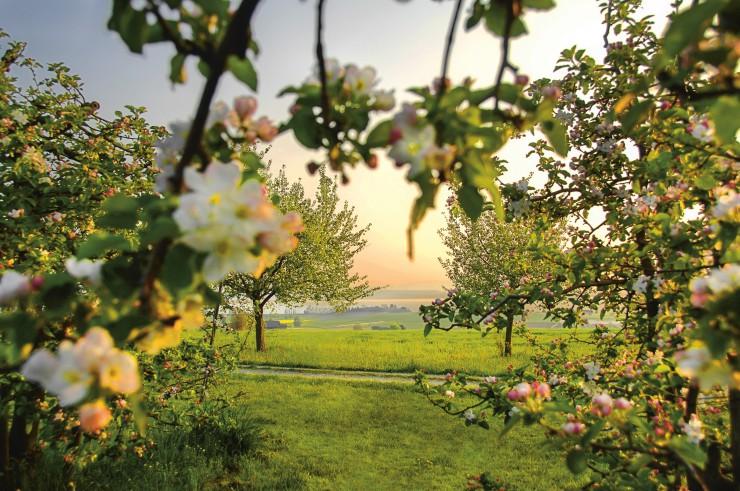 Schweizer Bodensee im Blütenrausch