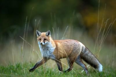 Wildtierschutz Deutschland fordert die Einstellung der Fuchsjagd