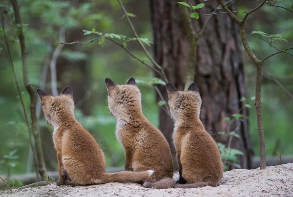 Wegweisend für Europa - keine Fuchsjagd im Jagdjahr 2015/16 in Luxemburg