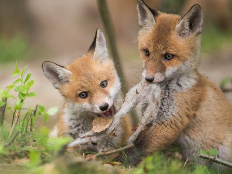 11.000 Unterschriften für die Beendigung der Fuchsjagd in Luxemburg