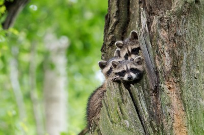 Waschbären - erfolgreiche Einbürgerung, nutzlose Jagd