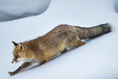 Luxemburg Vorbild in Sachen Wildtierschutz: Fuchsjagdverbot verlängert
