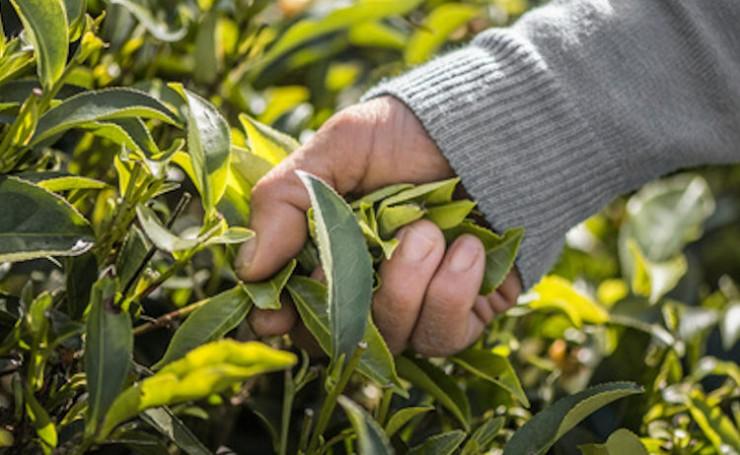 Abnehm Tee - unterschiedliche Sorten Tee mit ihren speziellen Eigenschaften zur Gewichtsreduzierung