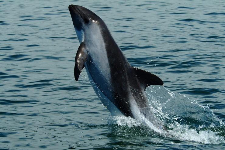Bedrohter Vaquita-Schweinswal bei Gefangennahme verstorben - Tierschützer fordern Stopp der Rettungsaktion