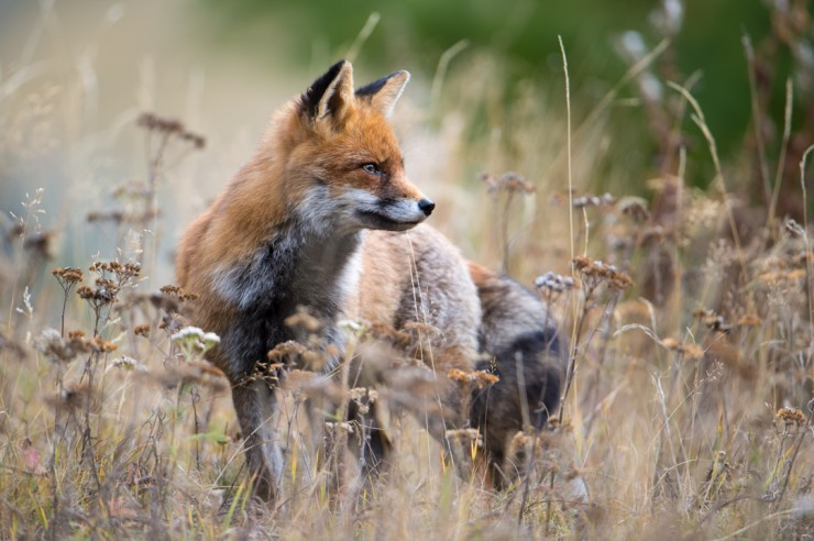 Füchse und Marder reduzieren Zeckenrisiko für den Menschen