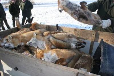 Fuchsjagd ist ein Risiko für die menschliche Gesundheit