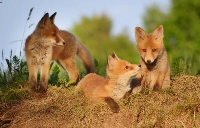 Bundesweites Aktionsbündnis fordert ein Ende der Fuchsjagd