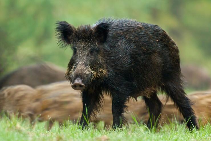 Afrikanische Schweinepest rechtfertigt keine tierschutzwidrigen Maßnahmen gegen Wildschweine