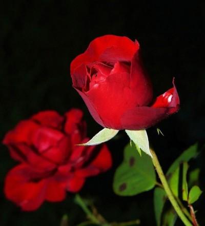Meisterzüchter Asif Ali Gohar sucht Vertriebspartner für die Floribundarose