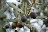 Olivenblatt Extrakt - der Geheimtipp