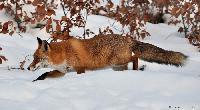 70 Organisationen fordern bundesweite Schonzeit für Füchse