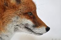 Mittels Petition zur Schonzeit für Füchse