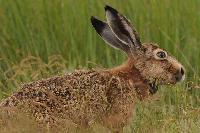 Ohne die Jagd wäre der Hasenbestand nicht gefährdet