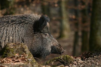 Winzer jammern: Millionenschäden durch Wildtiere?