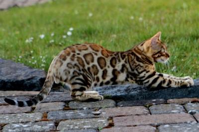 Wohnzimmerleoparden/Bengalkatzen werden immer beliebter