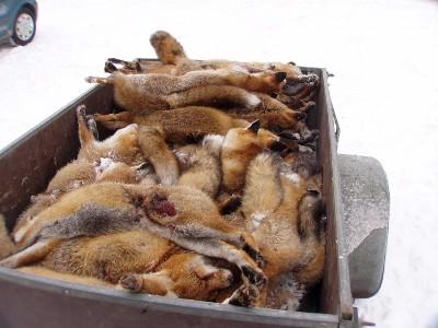 Jagd auf Waschbär und Marderhund ist sinnlos